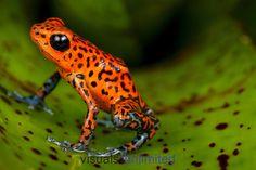 Strawberry Poison Frog (Dendrobates pumilio), Panama