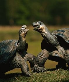 GREAT GALAPAGOS TORTOISE ~ Since great Galapagos tortoises aren't quite chivalrous or fast enough for dueling, males win over females by measuring necks. When two males are vying for a mate, they will stretch out their necks as far as they can. The longest wins,  so size matters in the tortoise world.