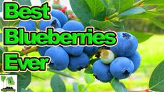 How to grow blueberries watches 29 Ideas New Fruit, Fruit And Veg, How To Look Confident, Farmhouse Table With Bench, Growing Blueberries, Mexican Street Food, Beauty Blender How To Use, Soil Improvement, Fibre Material