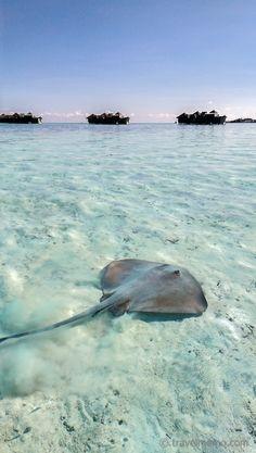#Stingray #GiliLankanfushi #Maldives