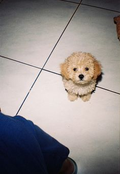 poodle puppy: Little Vito wants a sister!