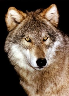 wolf pics | Wolfdogs: Comparison - Wolf-dog Education...