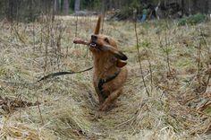 Jänisjemma: Pihka and the deer hoof (training tracking with dog)