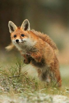 25 Fox Running Photos and Pictures - meowlogy Nature Animals, Animals And Pets, Baby Animals, Funny Animals, Cute Animals, Beautiful Creatures, Animals Beautiful, Fox Running, Fuchs Baby