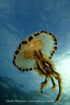 Compass Jelly Fish