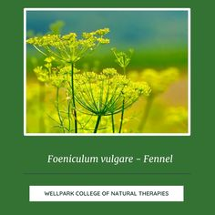 Fennel is a wonderful herb and has been used as a medicine and a food for hundreds of years to help with digestion. Click to find out more about this common garden herb. Fennel Seeds, Foeniculum Vulgare, Aromatic Herbs, Naturopathy, Evening Meals, Medical Conditions, Herbal Medicine, Herb Garden