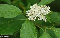 Red-osier Dogwood, Cornus sericea L. ssp. sericea, Native ...