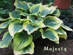 Majesty Hosta :: buttery edges, lighten a sea of darker green hostas