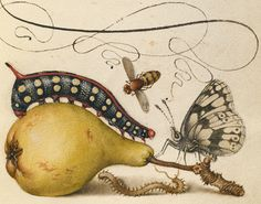 Fly, Caterpillar, Pear, and Centipede; Joris Hoefnagel, Flemish / Hungarian, 1542 – 1600, and Georg Bocskay, Hungarian, died 1575; Vienna, Austria, Europe; 1561 – 1562; illumination added 1591 – 1596; Watercolors, gold and silver paint, and ink on parchment – Source. - See more at: http://publicdomainreview.org/2013/08/14/selection-from-the-gettys-open-content-program/#sthash.4L1uKDvH.dpuf
