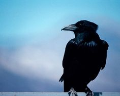 Ravens have demonstrated both logic and the ability to use tools.  Crows, their cousin species are extremely smart as well!
