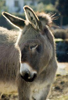 photo, Donkey