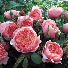 ジ・アレンウィック・ローズ - The Alnwick® Rose (Ausgrab) カップのようにふっくらとした濃厚なピンクのつぼみは、徐々にディープカップ咲きになります。その後、大きく開いて花びらのぎっしり詰ったシャローカップ咲きへと変化します。ソフトピンクの花びらは外側に行くほど薄くなり、どの段階でも花姿が美しいバラです。コンパクトな株立ちで、比較的まっすぐ育ち、繰り返し花をつけてのびのびと咲き続けるでしょう。群を抜いて丈夫な品種で、ボリュームのある艶やかな葉は生け垣にも向いています。ほのかにラズベリーの香りが混ざったオールドローズの香りです。  #バラ #イングリッシュローズ #園芸 #ガーデニング #花