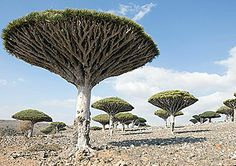 Island's Endangered Trees Seem From Another World : TreeHugger..