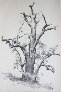 Shelly Fink - Dying Elm, Vermont (Artist Proof) For Sale at Nature Sketches Pencil, Tree Pencil Sketch, Tree Drawings Pencil, Landscape Pencil Drawings, Tree Sketches, Landscape Sketch, Art Drawings Sketches, Tree Trunk Drawing, Forest Drawing