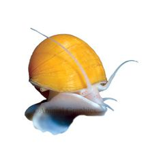 I would like to get one Mystery Snail to help keep algae down.