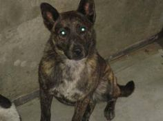 Trio: Beautiful Heeler girl is out of time at high-kill upstate shelter