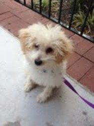 Mex is an adoptable Poodle Dog in Arlington, VA. If you are interested in adopting this dog, please fill out our dog adoption questionnaire and e-mail it to sueb@homewardtrails.org. Meet Mex! This ADO...