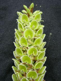 Altensteinia fimbriata