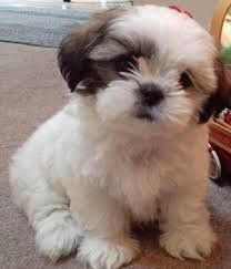 Shih Tzu Puppies For Sale Waz Zap What Sapp 60172415563 For Sale