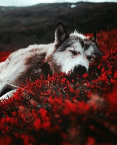 dd6a98fdd7c 109 nejlepších obrázků z nástěnky ae  werewolf