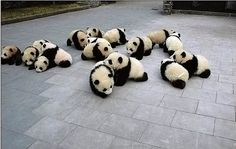 Here is a pic of 4 cute baby pandas drinking water. Here is a group of baby pandas who appear to have bad manners when eating. Here is a large group of cuddly pandas cuddling, sleeping and playing. Niedlicher Panda, Panda Love, Kung Fu Panda, Chibi Panda, Happy Panda, Panda Funny, Cute Baby Animals, Funny Animals, Wild Animals