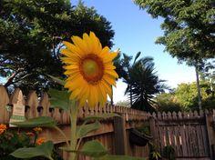 The first sunflower of summer 2015
