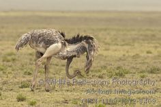 Search a quality selection of 'ostrich mating display' clip art images and photos. RM and RF imagery for all your creative projects! Ostrich Bird, The Ostrich, Camelus, Ostriches, Flightless Bird, Art Images, Africa, Eggs, Clip Art