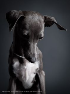 sweet little italian greyhound in a sad mood.