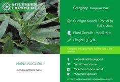 Aucuba Japonica Nana Compact #evergreen shrub. Visit plants.wemakedirtlookgood.com