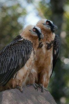 Un couple de Gypaètes barbus - C'est l'oiseau le plus grand d'Europe - Une trentaine d'individus existent dans la partie centrale de l'île - Il  faut absolument  en renforcer le nombre
