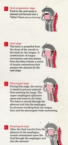 Stages of swallowing! Repinned by SOS Inc. Resources. Follow all our boards at http://Pinterest.com/sostherapy for therapy resources.