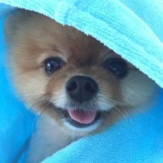 Cute Jiff the Pomeranian Dog