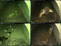 """Washington County's tunnel has helped several species cross under Highway 4 safely. From top left clockwise: painted turtle, snapping turtle, mink, ducks. """"Last August, our first snapping turtle come through,"""" county park manager Peter Mott says. """"This June, a lot more came through. So yes, turtles are using the turtle tunnel."""""""