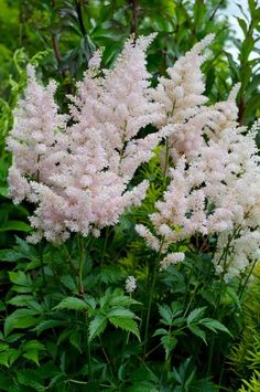 """The ASTILBE flower means """"I will be waiting for you"""" Outdoor Shade, Outdoor Plants, Back Gardens, Small Gardens, Vertical Gardens, Shade Garden, Garden Plants, Astilbe Flower, Gardens"""