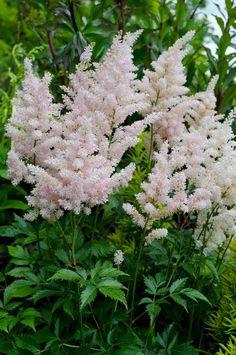 ASTILBE JAPONICA 'PEACH BLOSSOM'   from Secret Garden Growers