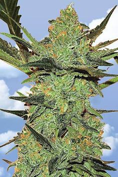 You have been wondering where to get your stuff? Think no more. REALWEEDSHOPNOW is here to help you get what you want.  we do delivery of the following awesome products. why not get to us for yours by opening our website and discovering it for yourself. We keep no footprints behind. AVAILABLE ARE THC AND CBD OIL, MEDICAL MARIJUANA, CANNABIS OIL, CANNABIS, MARIJUANA, MARIJUANA EDIBLES AND MANY MORE AT http://realweedshopnow.com