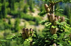 Forest renewal in the rich volcanic soil of Mount St. Helens Gifford Pinchot…