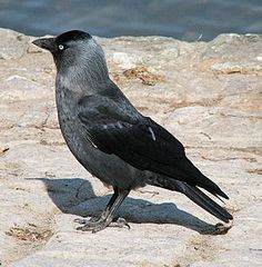 Western Jackdaw, Europe, W Asia, & N Africa Pretty Birds, Beautiful Birds, Choucas Des Tours, Thomas Bernhard, Lago Baikal, The Big Year, Bird Facts, Jackdaw, Crows Ravens