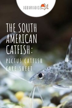 The pictus catfish is a beautiful fish, unmistakable for its spotted pattern and long barbels. These fish are a little more challenging to keep than most other beginner freshwater fish due to their activity level and predatory behavior but are definitely worth it if tank conditions are met.