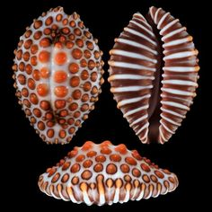 Jenneria pustulata - (Lightfoot, found this shell on the beach in Cabo San Lucas! what a lucky person who found this shell of bejeweled wonderment Shells And Sand, Sea Shells, Jewel Of The Seas, Shell Collection, Snail Shell, Shell Beach, Shell Art, Ocean Life, Marine Life