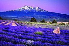 Lavender fields of Mount Shasta in California - Amazing natural wonders and places to visit in California