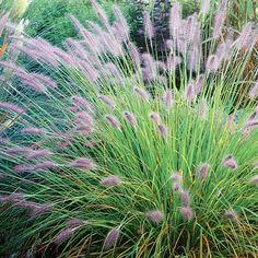 Pennisetum alopecuroides 'Hamelin'--ornamental grasses, shorter in height, hardy to zone 5 Winter Lawn, Australian Native Plants, Gravel Garden, Ornamental Grasses, Grasses Landscaping, Plants, Planting Flowers, Xeriscape, Grasses Garden