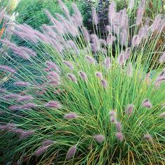 "Pennisetum alopecuroides 'Hameln'...one of my favourite ornamental grasses with a shorter stature...30"" in height, hardy to zone 5"
