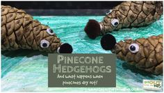 Our little lad made these pinecone hedgehogs. They're really easy to make and learn about how pinecones change with the weather.