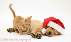 Pets: Ginger kitten and Retriever pup asleep with Santa hat photo
