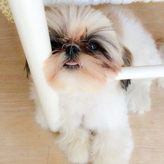 "Click visit site and Check out Cool ""Shih Tzu"" T-shirts. This website is excellent.  Tip: You can search ""your name"" or ""your favorite shirts"" at search bar on the top."