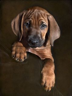 Beautiful Rhodesian Ridgeback puppy.