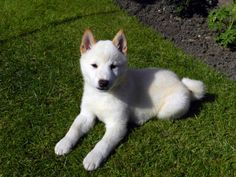 White shiba inu pup - such a cutie.. This is my Dream dog!
