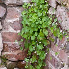 Muurleeuwenbek - Kwekersvergelijk Shade Plants Container, Old Wall, Bird Food, Kraut, Shrubs, Perennials, Pink Flowers, Planting Flowers, Ivy