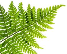 Leather Leaf –Fern Greenery for Arrangements BunchesDirect $6.99 per bunch of 20 stems